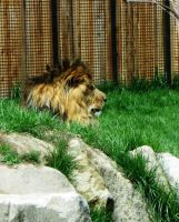 Lion 4 -- Aug 2009 by pricecw-stock