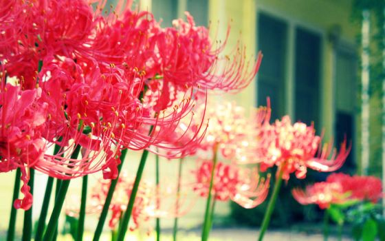 9-26 Spider Lily 01 by harimauputeh