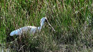 Royal Spoonbill by Dryad-8