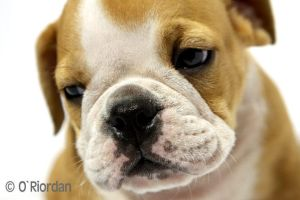 Nigel English Bulldog 10 by Seanoriordan