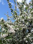 Blooming Apple Tree Stock by Kinhiae