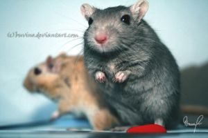 adorable gerbil boys. by buvino