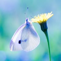 Cabbage white butterfly by Akxiv