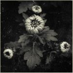 Moment of bloom II  BW by jhps