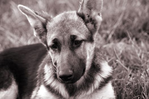 German Shepard by mfuld