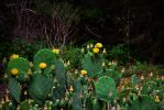 Cactus Blossoms by PhillyPuddy