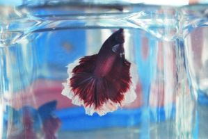 Betta Fish for export 12 by jerungan