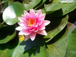 Pink lilly pad by xXJustBelieveInMeXx