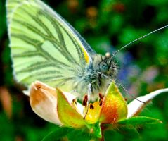 Pieris Napi by iriscup