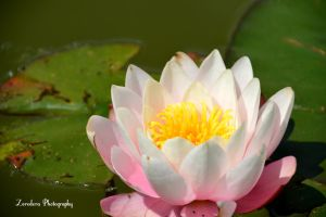 Water Lily by Zorodora