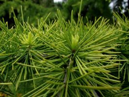 Needles of Green.. by AlfiBOh