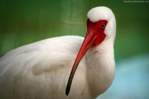 White Ibis. by pasofino6