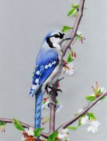 Blue Jay by x-e-q-shnr