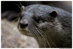 Otter Closeup by TVD-Photography