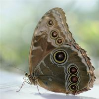 Common Blue Morpho by andras120