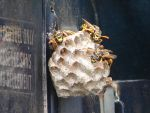 Yellow Jacket Wasps Nesting 4 by FantasyStock