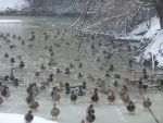 Snow duckies by Rennon-the-Shaved