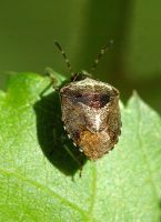Woundwort Bug by oliverporter3