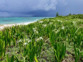 Spider lilies by the sea by peterpateman