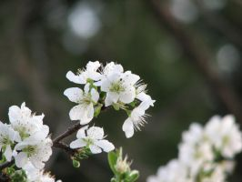white plum flowers by melloncolliebaby