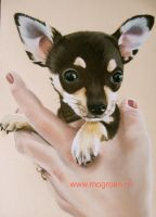 Tosen Chihuahua dog in pastelkrijt by mo62