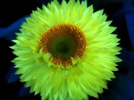 yellow flower by mandykat