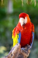 Red Macaw by danielanacif