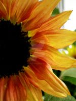 sunflower 6 by theonlysong