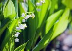 Convallaria majalis - Lily of the Valley by elvenmaedchen