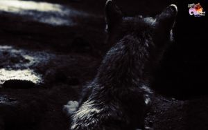 Free Wolves 8 by pixbird