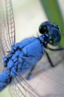 Dragonfly. by leannlaughlove