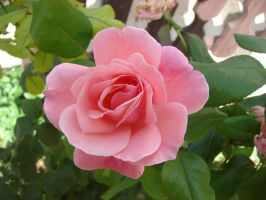 Rose by Mate397