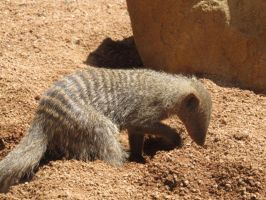 Striped Mongoose by Zivera