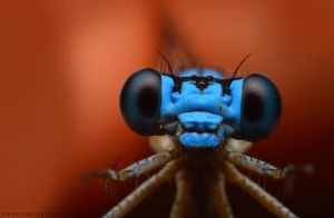 Curious Bluet by Blaklisted