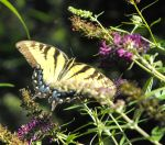 yellow  Black Swallowtail by ganadeau