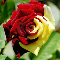 Mother Rose Yellow and Red by oOFloraNatureOo
