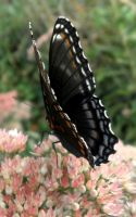 Red Spotted Purple 03 by Thy-Darkest-Hour