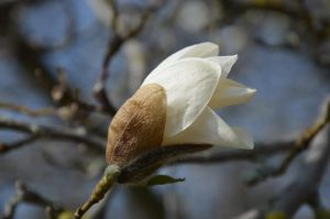 magnolia III by mimose-stock