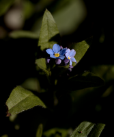 Forget-me-not 2 by bmh1