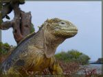 Yellow Iguana Profile by AndySerrano
