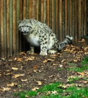 Snow Leopard 1 -- Aug 2009 by pricecw-stock