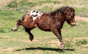 Mini Appaloosa stock 2 by xxMysteryStockxx