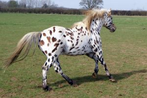 Appaloosa Stock 05 by candigal