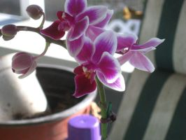 1 of the orchids by crazygardener