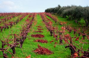 A Cretan Vineyard by ManuBell