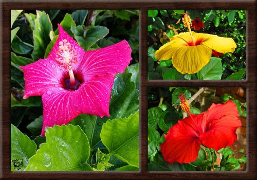 Hibiscus Three by FauxHead
