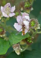 Hoverfly 0294 by filmwaster