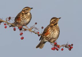 Redwings by Jamie-MacArthur