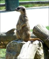 Suricate by Dkyo