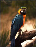 Blue and yellow parrot by Et-Manue-Elle